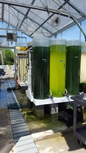 Algae culturing