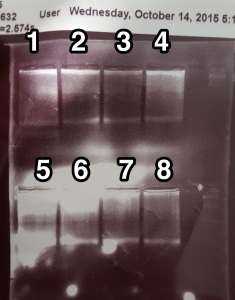 Gel of 2b-RAD PCR product