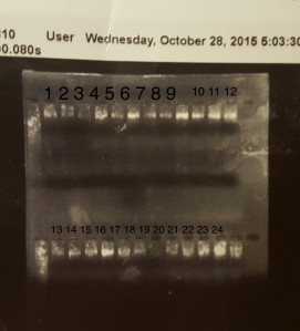 Gel of DNA extraction done on 10/21/15.