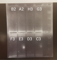 Gel of samples B2-C3 from 2bRAD Library 1.